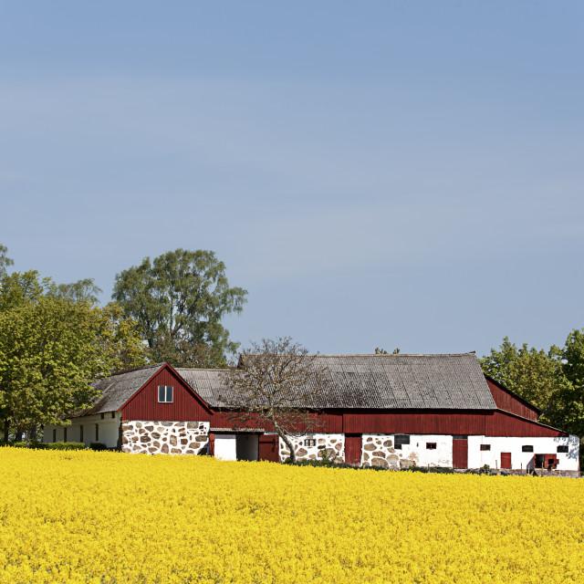 """""""Rapeseedfield in Skane"""" stock image"""