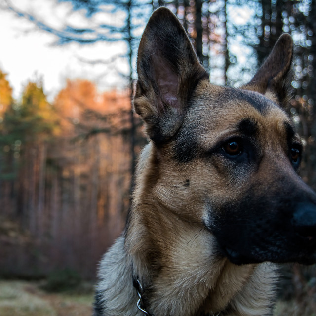 """German Shepherd in Scottish woodland"" stock image"