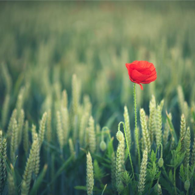 """A Single Poppy"" stock image"