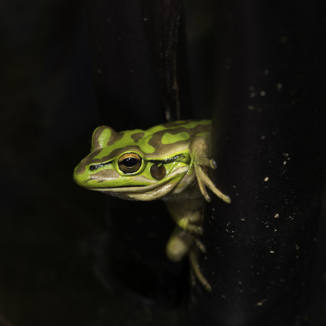 """Green Frog"" stock image"
