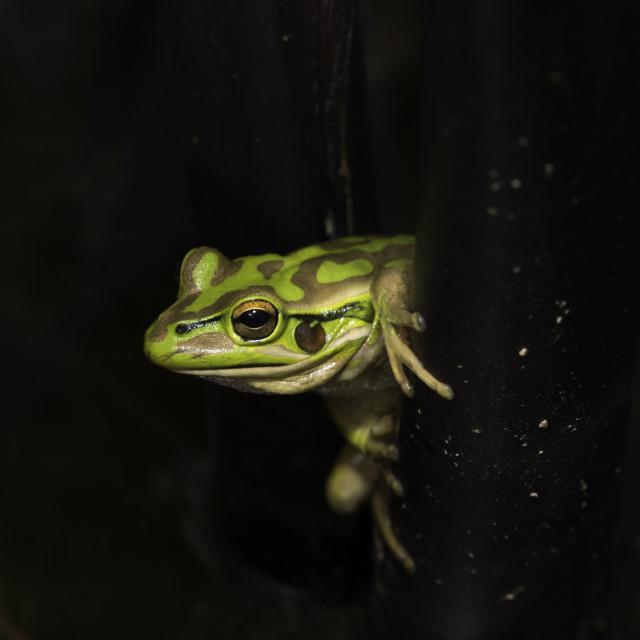 """Green Frog"" stock image"