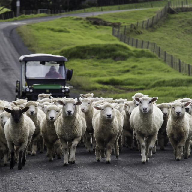 """Sheep Stampede"" stock image"