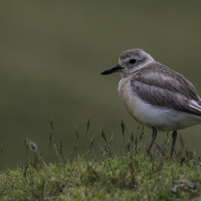 """New Zealand Dotterel"" stock image"