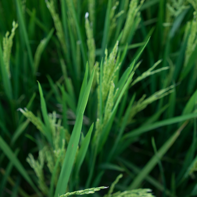 """Blurred shot of paddy plants"" stock image"