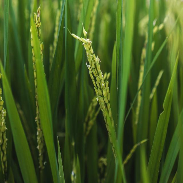 """Rice"" stock image"