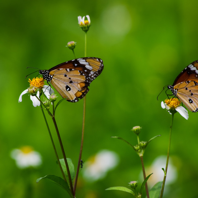 """""""Butterflies with white wild daisy flowers"""" stock image"""