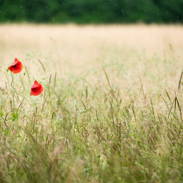 """Two poppies in a cornfield"" stock image"
