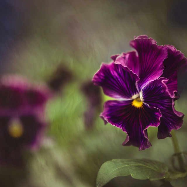 """""""Pansy"""" stock image"""