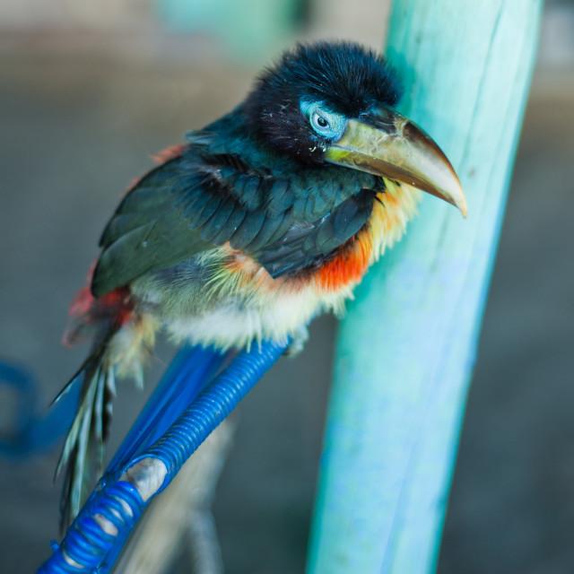 """Colourful bird, Iquitos, Peru, South America"" stock image"