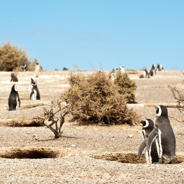 """Magallen Penguin Colony, Punta Tombo, Patagonia, Argentina"" stock image"