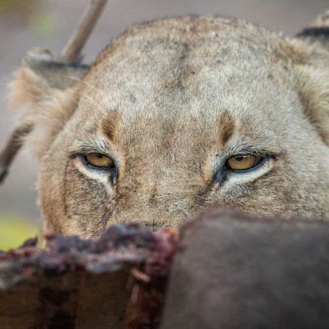 """Lioness looking over a Buffalo carcass in the Sabi Sabi."" stock image"