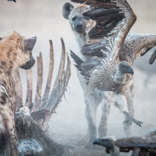 """Spotted hyena at a carcass with a flying Vulture."" stock image"