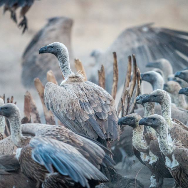 """A group of White-backed vultures on a carcass."" stock image"
