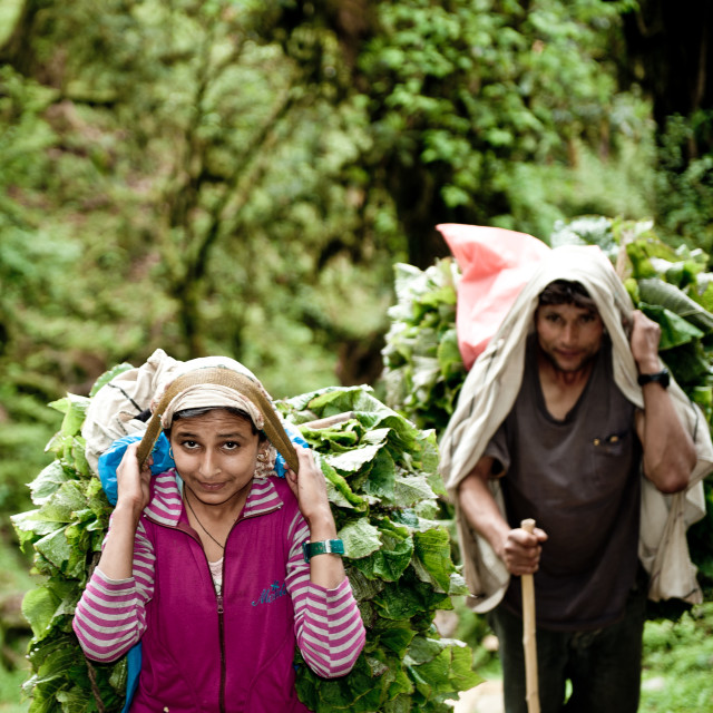 """Carrying tea leaves AnnaPurna, Nepal"" stock image"
