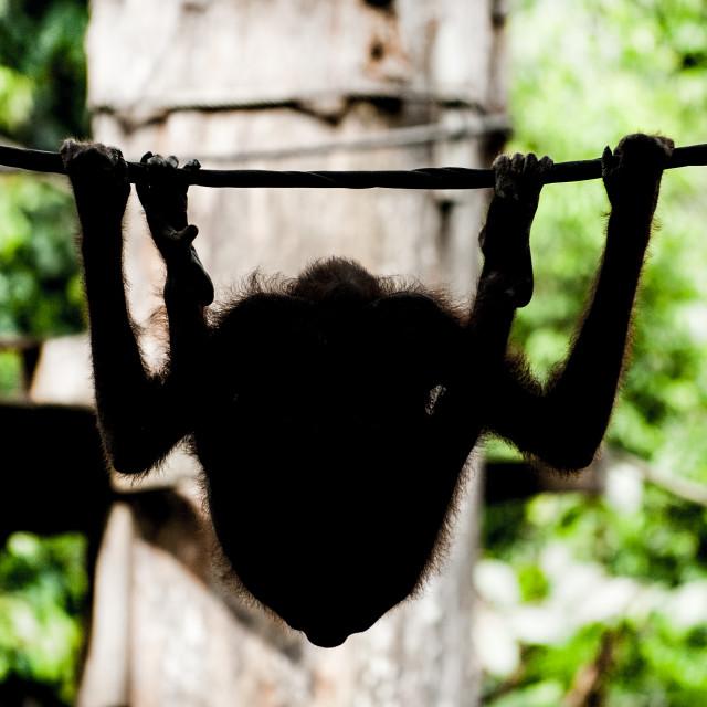 """Orangutan silhouette, Sepilok, Borneo"" stock image"