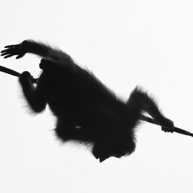 """Juvenile Orangutan in silhouette, Sepilok, Borneo"" stock image"