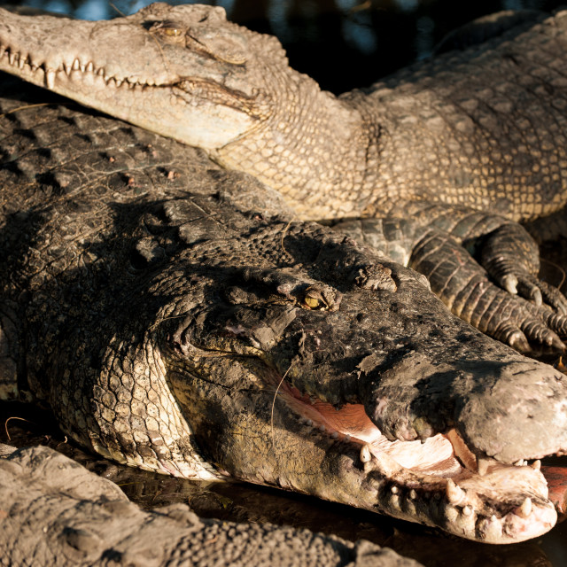 """Crocodile close up, Miri, Borneo"" stock image"