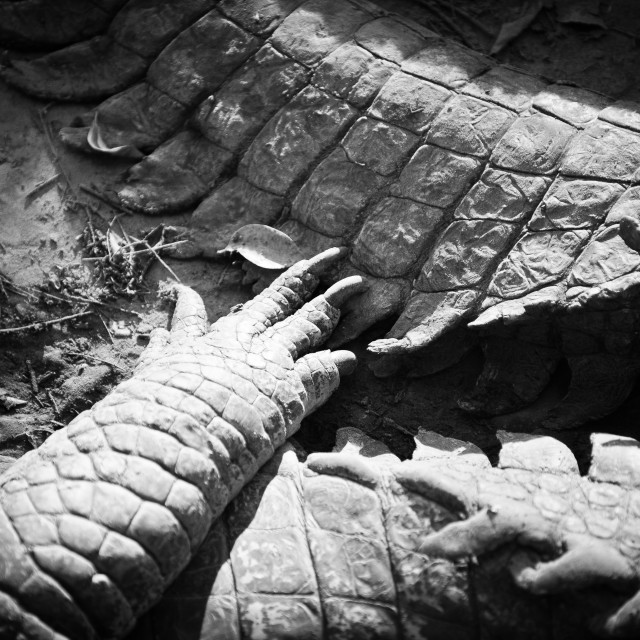 """Extreme close up of crocodile foot and tails"" stock image"