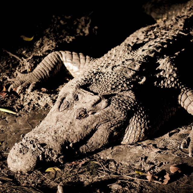 """Mud covered Crocodile, Miri, Borneo"" stock image"