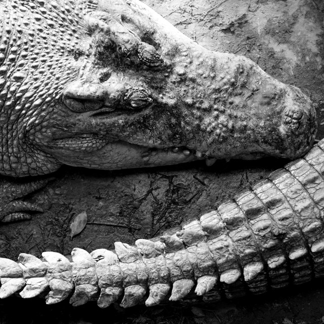 """Close up of large Crocodile head and tail, Miri, Borneo"" stock image"