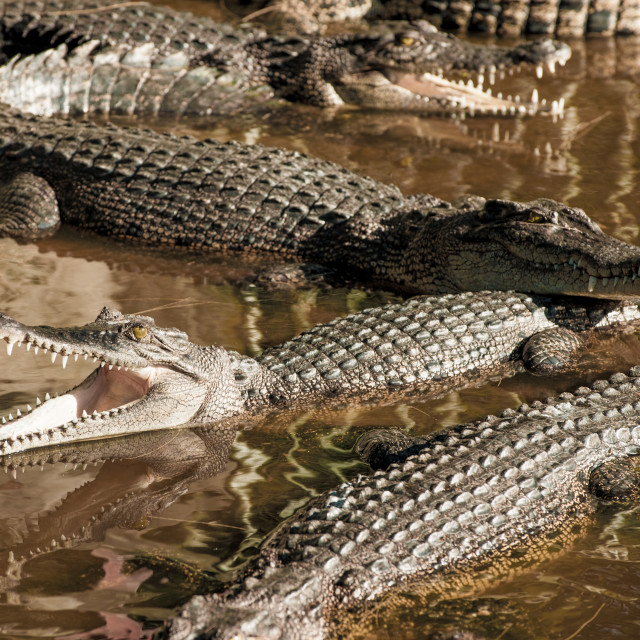 """Large group of Crocodiles, Miri, Borneo"" stock image"