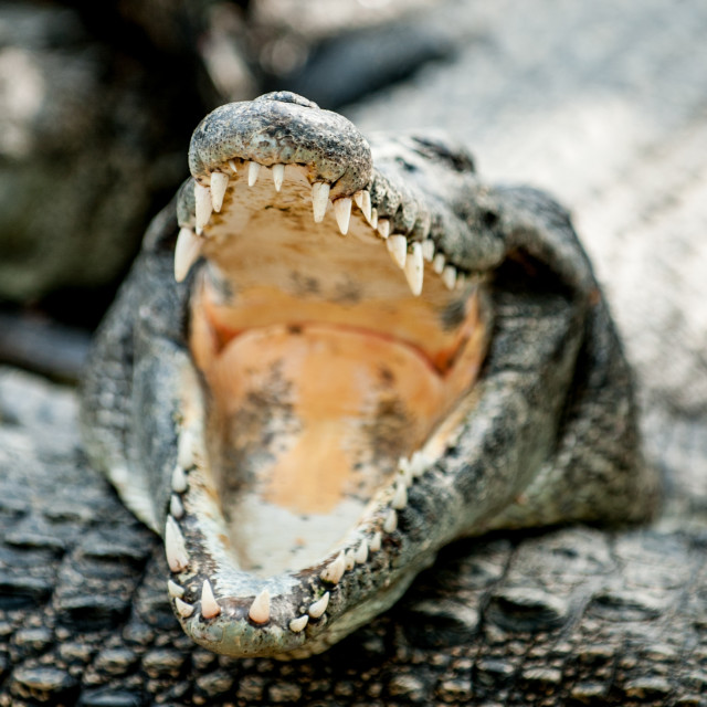 """Crocodile jaws, Miri, Borneo"" stock image"