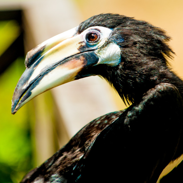 """Toucan close up, Borneo"" stock image"