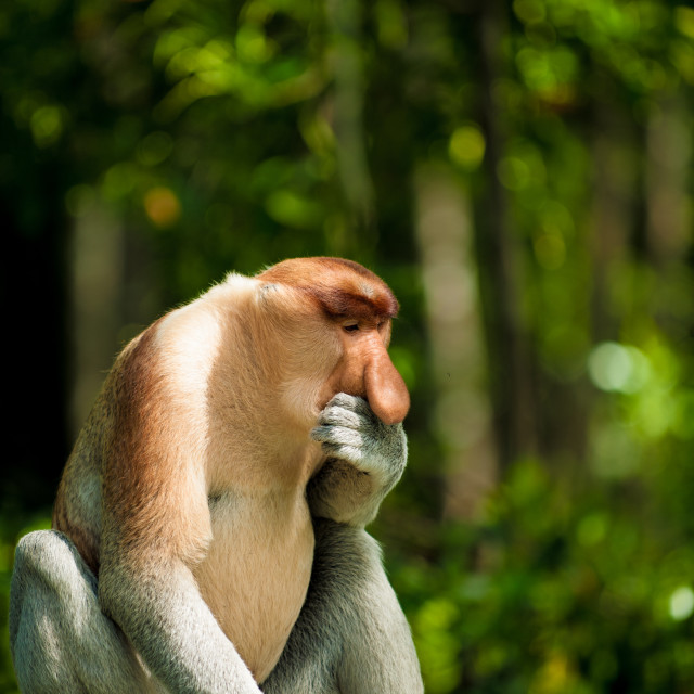 """Proboscis monkey contemplating, Borneo"" stock image"