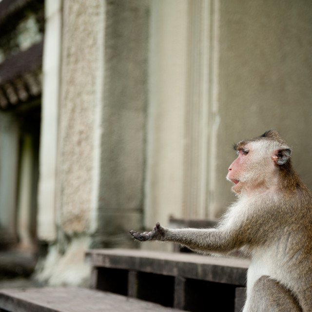 """Monkey begging for food, Angkor Wat, Cambodia"" stock image"