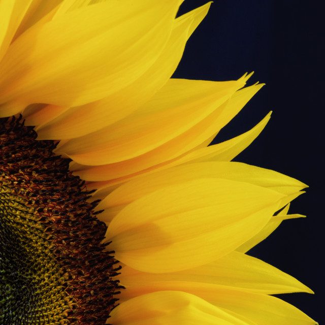 """Closeup of a Sunflower"" stock image"