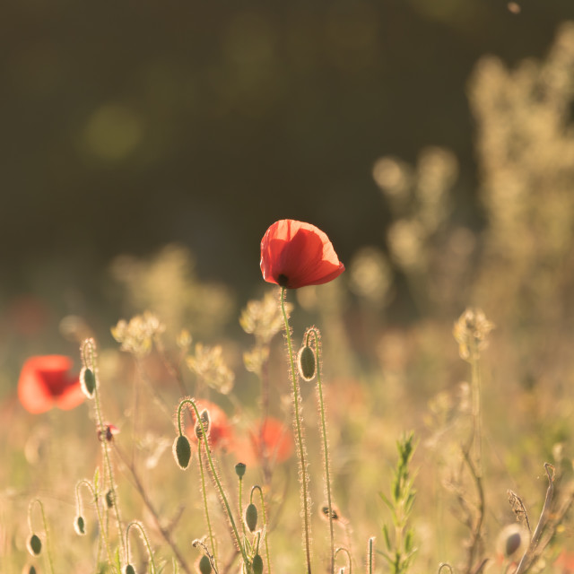 """Backlit poppies"" stock image"