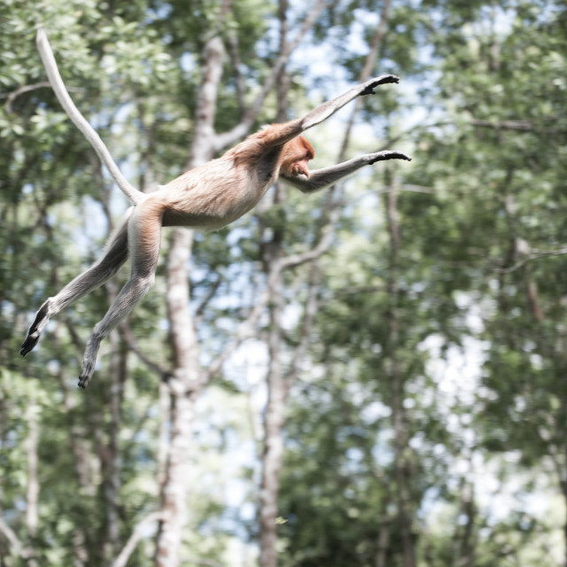 """Proboscis monkey flying through the air, Borneo"" stock image"