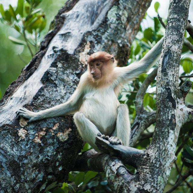 """Young Proboscis Monkey in a tree, Borneo"" stock image"