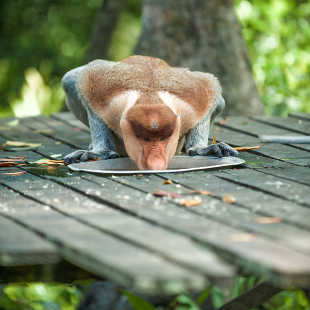 """Proboscis Monkey taking a drink, Borneo"" stock image"