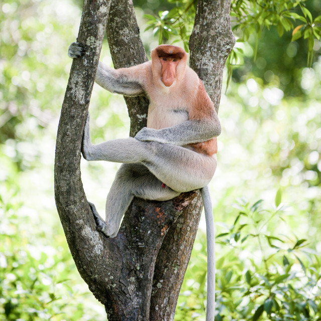 """Proboscis Monkey sitting in a tree"" stock image"