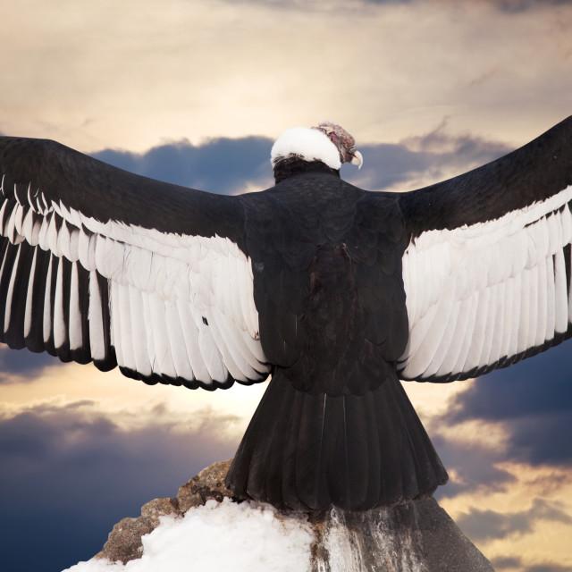 """""""Andean condor"""" stock image"""