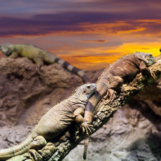 """""""Iguanas in sunset"""" stock image"""