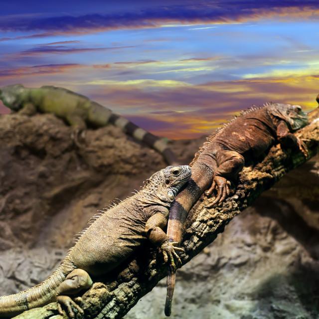 """""""Few Iguanas in sunset"""" stock image"""
