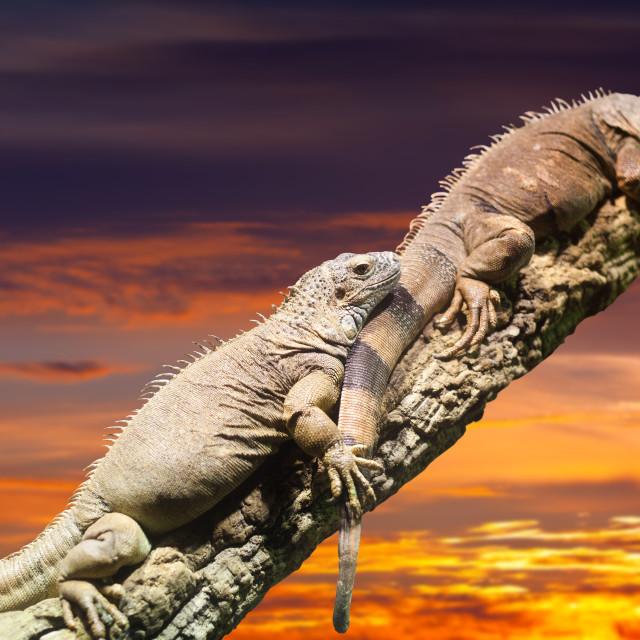 """Two Iguanas in sunset"" stock image"