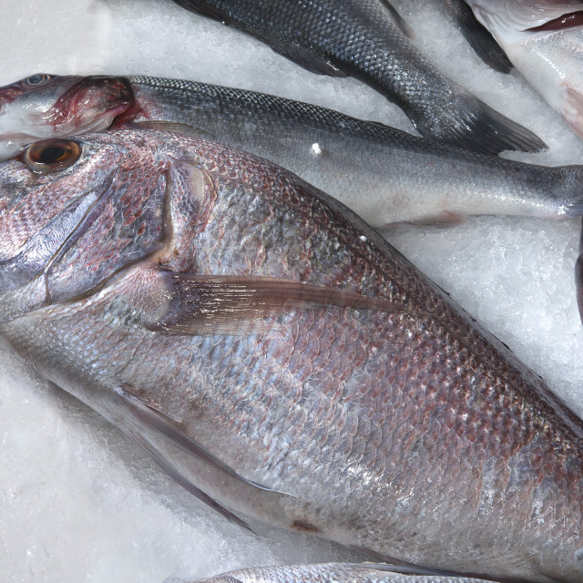 """""""red snapper."""" stock image"""