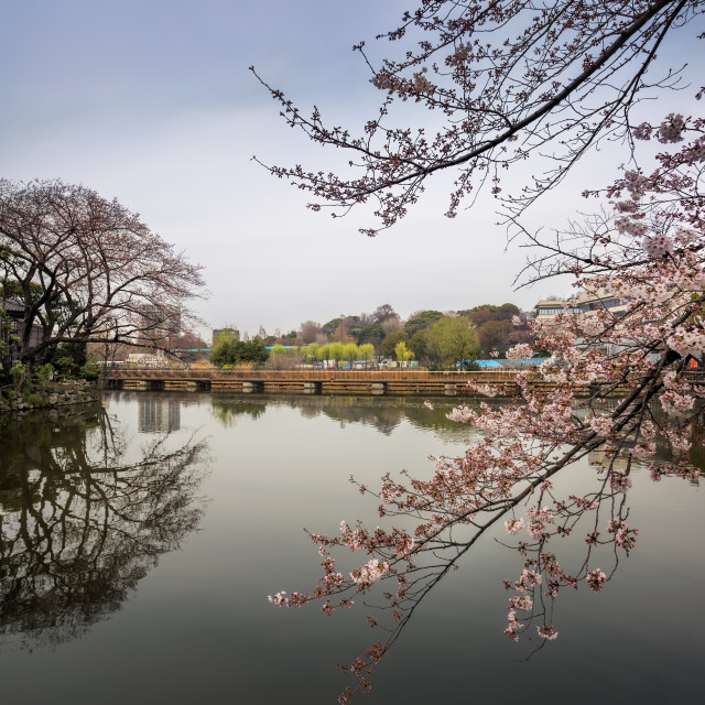 """Tokyo Cherry Blossom"" stock image"