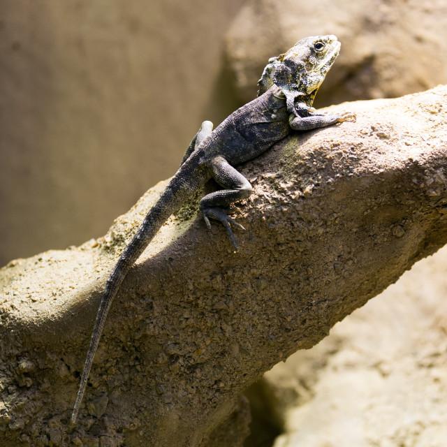 """Frilled-neck lizard"" stock image"