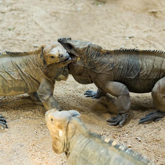 """Few Rhinoceros iguanas"" stock image"