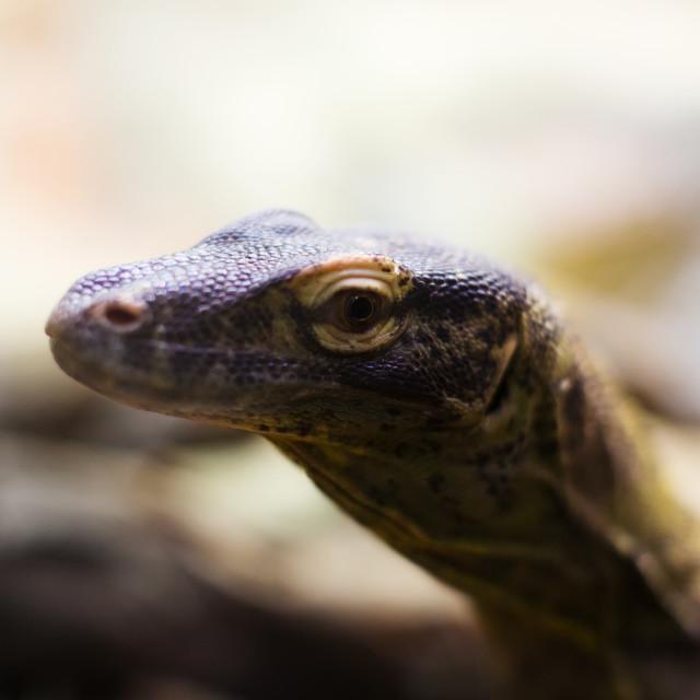 """Head of Komodo dragon"" stock image"