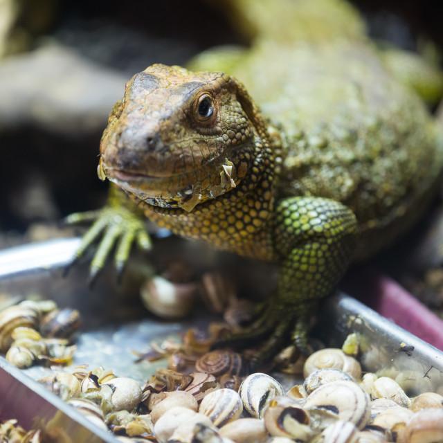 """Caiman Lizard eating snails"" stock image"