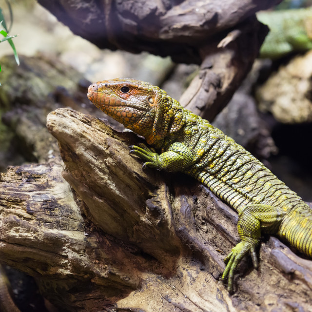"""""""Caiman Lizard on tree in forest"""" stock image"""