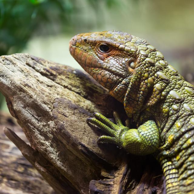 """""""Closeup of Caiman Lizard"""" stock image"""