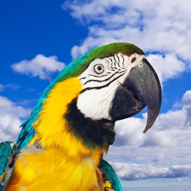 """Head of Macaw papagay"" stock image"