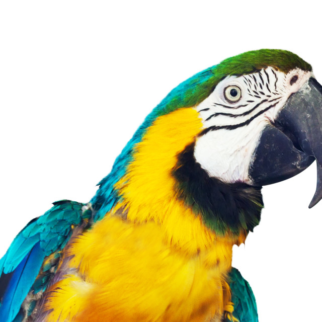 """""""Head of macaw over white background"""" stock image"""