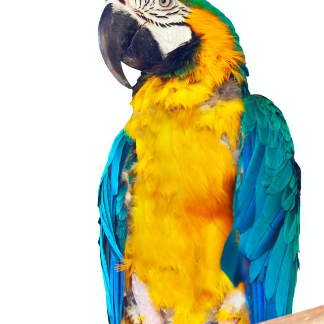 """""""Green-winged macaw over white"""" stock image"""